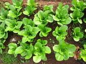 99-----菜花園:IMG_2581_調整大小