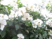 99---玫瑰:IMG_6217_調整大小