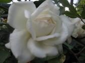 99---玫瑰:IMG_6214_調整大小