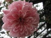 99---玫瑰:IMG_7570_調整大小