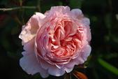 2011玫瑰:DSC_0473_調整大小.JPG