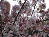 99---櫻花林:調整大小DSC_0932