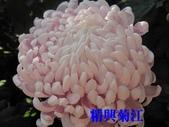 99士林官邸菊花展:IMG_1203精興菊江.JPG
