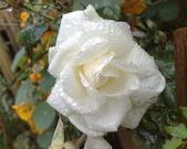 花球&草花:調整大小調整大小200903241138.jpg
