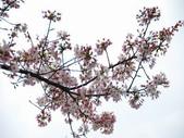 99---櫻花林:調整大小DSC_0937