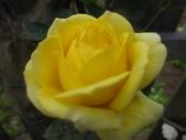 99---玫瑰:IMG_6090_調整大小