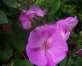 菜花園:調整大小103_1632.JPG