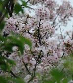100之櫻花:DSC_0150.JPG