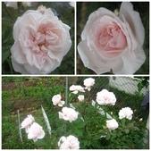 99---玫瑰:屏東月季