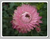 99---草花:IMG_5506麥桿菊_調整大小