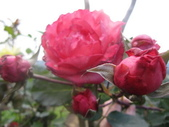 99---玫瑰:IMG_6091_調整大小