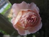 99---玫瑰:IMG_6092_調整大小