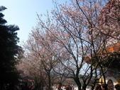99---櫻花林:IMG_5288_調整大小