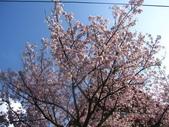 99---櫻花林:IMG_5327_調整大小