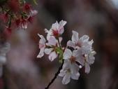 99---櫻花林:調整大小DSC_0905