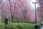 100之櫻花:DSC_0306.JPG
