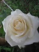 99---玫瑰:IMG_5574_調整大小