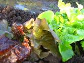 99-----菜花園:IMG_2754_調整大小