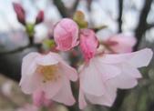 100之櫻花:IMG_5576.JPG