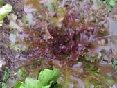 99-----菜花園:IMG_4616_調整大小