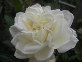 99---玫瑰:IMG_5890_調整大小