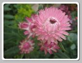 99---草花:IMG_5506麥桿菊 (1)_調整大小