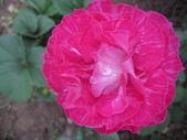 99---玫瑰:IMG_5082奇蹟_調整大小