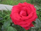 2011玫瑰:IMG_9018.JPG