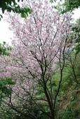 100之櫻花:DSC_0183.JPG