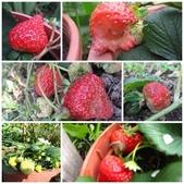 99-----菜花園:草莓