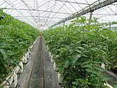一二九竹風一日之這些是蕃茄---金勇DIY蕃茄農場:DSC06904.JPG