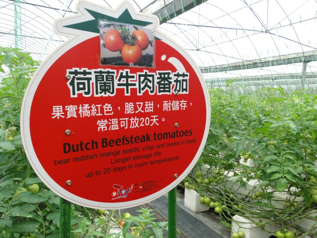一二九竹風一日之這些是蕃茄---金勇DIY蕃茄農場:DSC06905.JPG