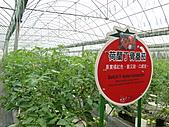 一二九竹風一日之這些是蕃茄---金勇DIY蕃茄農場:DSC06906.JPG