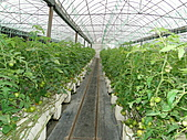 一二九竹風一日之這些是蕃茄---金勇DIY蕃茄農場:DSC06907.JPG