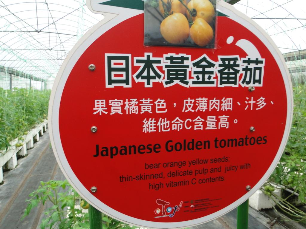 一二九竹風一日之這些是蕃茄---金勇DIY蕃茄農場:DSC06908.JPG
