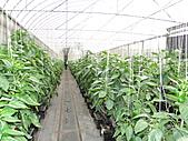 一二九竹風一日之這些是蕃茄---金勇DIY蕃茄農場:DSC06915.JPG