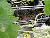 一二九竹風一日之這些是蕃茄---金勇DIY蕃茄農場:DSC06918.JPG