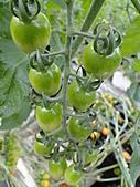 一二九竹風一日之這些是蕃茄---金勇DIY蕃茄農場:DSC06922.JPG