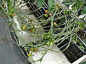 一二九竹風一日之這些是蕃茄---金勇DIY蕃茄農場:DSC06923.JPG