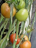 一二九竹風一日之這些是蕃茄---金勇DIY蕃茄農場:DSC06926.JPG