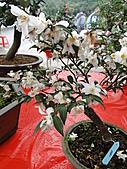 一二九竹風一日之偶然遇見的---客庄新春茶花季:DSC06772.JPG