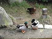一二九竹風一日之九芎湖美味--劉家莊燜雞(不過我不能吃):DSC06834.JPG