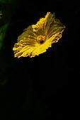 澎湖菜瓜花花:澎湖菜瓜5