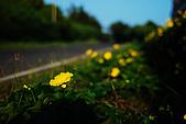 澎湖菜瓜花花:澎湖菜瓜18
