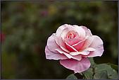 2009士林官邸玫瑰季:nEO_IMG_IMGP5499.jpg