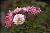 2009士林官邸玫瑰季:nEO_IMG_IMGP5500.jpg