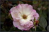 2009士林官邸玫瑰季:nEO_IMG_IMGP5501.jpg