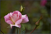 2009士林官邸玫瑰季:nEO_IMG_IMGP5502.jpg