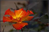2009士林官邸玫瑰季:nEO_IMG_IMGP5503.jpg