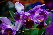 2009台北國際花卉展:花草集:nEO_IMG_IMGP7043.jpg
